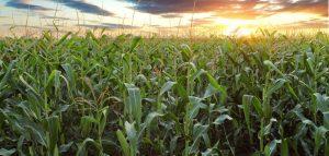 Jakie plony kukurydzy?