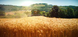 Ceny zbóż w żniwa 2019 – nieznaczne podwyżki